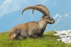 Old ibex Royalty Free Stock Images