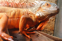 Old iguana green Royalty Free Stock Photo