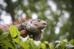 Old Iguana on tree Royalty Free Stock Photos