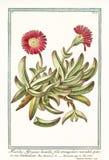 Ficides africana humilis Delosperma royalty free stock image