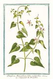 Old illustration of Periploca monspeliaca foliis acutioribus plant Stock Images