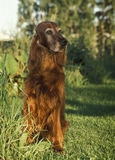 Old irish setter Royalty Free Stock Images