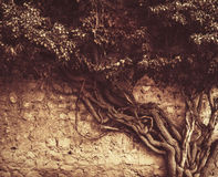 Old ivy growing on the ancient brick wall Stock Photography