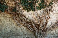 Old ivy tree stock photo