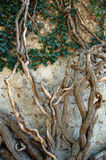 Old ivy tree. Very old ivy tree on the stone wall Royalty Free Stock Image
