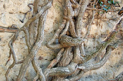 Old ivy tree. Very old ivy tree on the stone wall Royalty Free Stock Photography