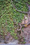 An old ivy tree covered a red brick wall Royalty Free Stock Photos