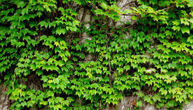 Old ivy wall. Old wall covered by fresh green ivy branches and leaves Royalty Free Stock Photography