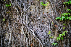 Old ivy on the wall Royalty Free Stock Photo