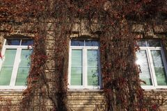 Old ivy. On the wall of a house in the aun season stock image