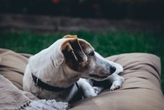Old jack russell lying down stock photo