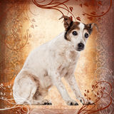 Old Jack Russell Terrier sitting. 17 years old, on a designed background Stock Images