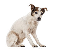 Old Jack Russell Terrier sitting, looking at the camera. 17 years old, isolated on white Royalty Free Stock Images