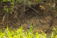 Old Jaguar Grooming in Cove of Bushes Stock Photography