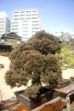 Old Japanese bonsai, Tokyo, Japan Royalty Free Stock Photos