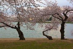 Old Japanese cheery tree near the water of Tidal Basin at sunrise, Washington DC, USA. Royalty Free Stock Photography