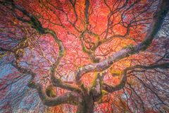 The old Japanese maple in autumn colors Stock Photo