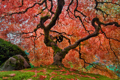 The Old Japanese Maple Tree in Autumn stock image