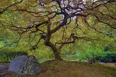 Old Japanese Maple Tree Stock Photos