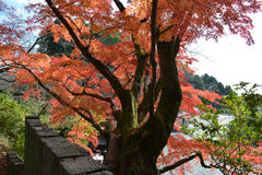 Old Japanese Maple Tree with Red Leafs. A large old Japanese maple tree with red leafs in the fall Stock Photography