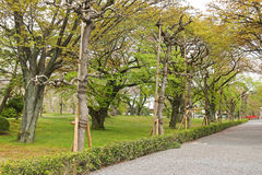 Old Japanese Sato-zakura cherry tree grove being propped up Stock Photography