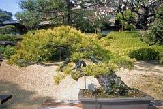Old Japanese white pine bonsai, Tokyo, Japan Stock Photo