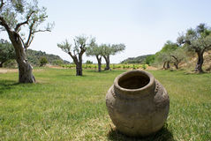 Old jar and olive. Sicilian terracotta amphora in a beautiful garden with olive trees royalty free stock photography