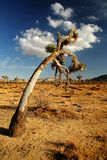 An Old Joshua Tree in the High Desert Royalty Free Stock Photography