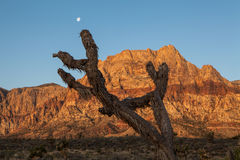 Old Joshua Tree And Red Rocks Royalty Free Stock Images