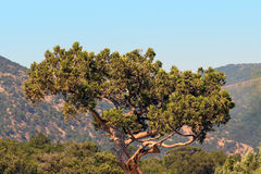 Old juniper Royalty Free Stock Photo