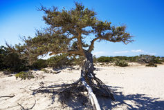 Old Juniper Royalty Free Stock Images