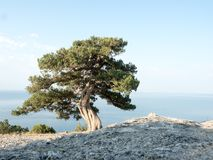 Old juniper on the crimean hill royalty free stock photography