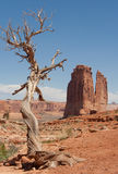 Old Juniper and the desert royalty free stock photography