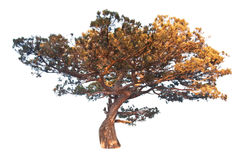 Old juniper tree. On white royalty free stock photo