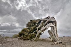 Old juniper tree on El Hierro island. Old juniper tree El Sabinar of El Hierro island - Canary islands - Spain Royalty Free Stock Images