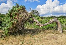 Juniper tree. Old juniper tree in a mediterranean landscape, Puglia, Italy royalty free stock image