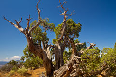 Old juniper tree in New Mexico desert. Above Ghost Ranch; Pedernal mountain in background royalty free stock images