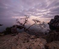 Old juniper tree on rocky coast of Black sea stock photo