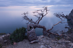 Old juniper tree on rocky coast of Black sea Stock Image