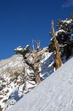 Old Juniper Tree On Snowy Mountain Side stock photography