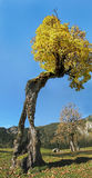 Old knaggy tree, ahornboden karwendel, austria Royalty Free Stock Photography