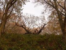 old knobbley famous oak tree furze hills mistley forest big tree Royalty Free Stock Image