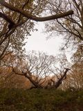 old knobbley famous oak tree furze hills mistley forest big tree Royalty Free Stock Photo