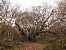 old knobbley full frontal view old famous landmark oak tree fore Royalty Free Stock Photo