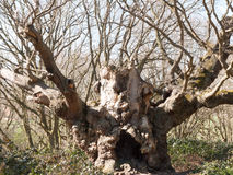 Old knobbly in the middle of a forest Royalty Free Stock Photo