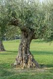 Old, knotty olive tree. In the park in Sirmione in Italy stock photography