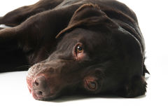 Old labrador royalty free stock images