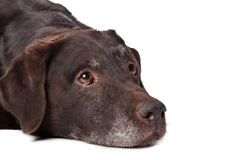 Old Labrador Stock Images