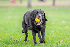 Old labrador with ball Stock Photo