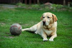 Old labrador dog with ball on the grass stock photography